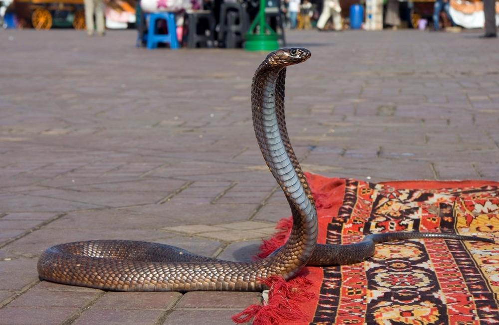 Cobra dances
