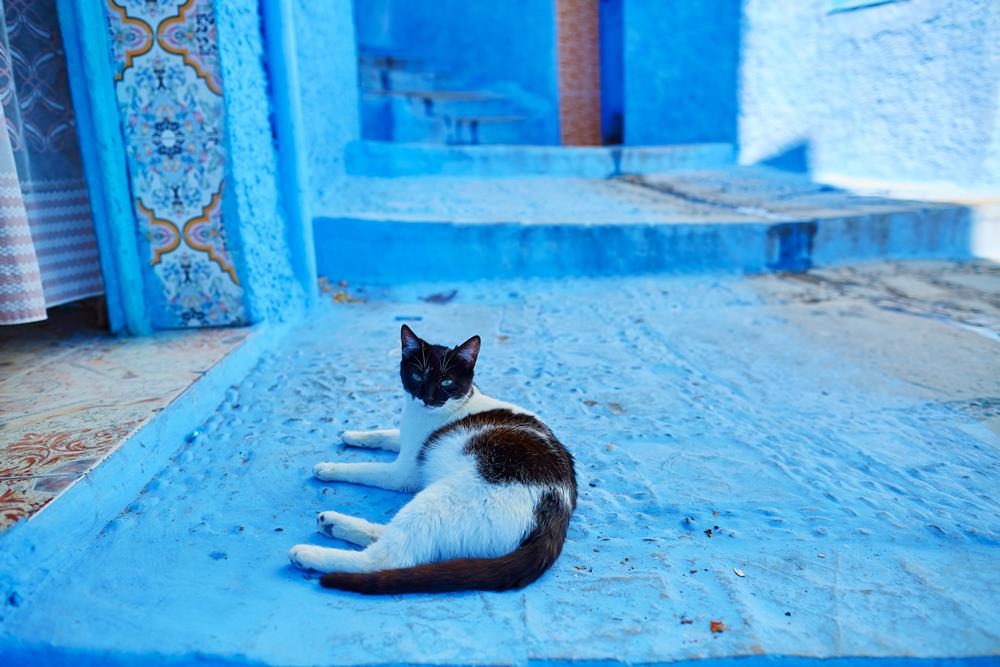Stray cat in Chefchaouen, Morocco, small town in northwest Morocco known for its blue buildings