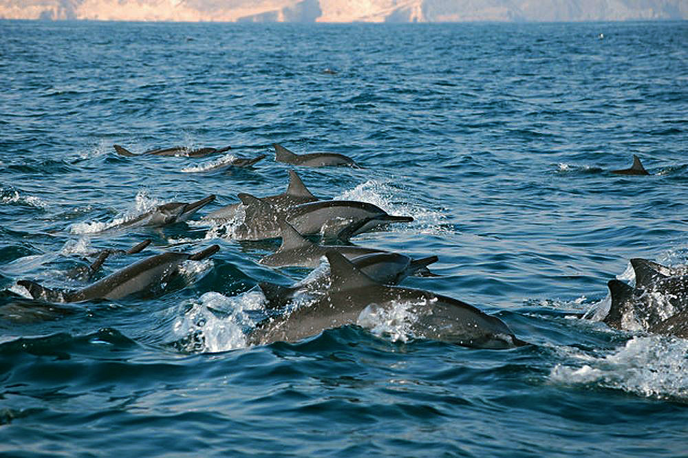 dolphins-oman