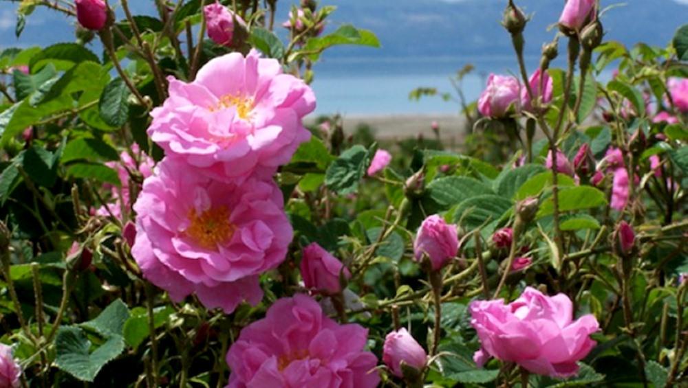 cyprus rose